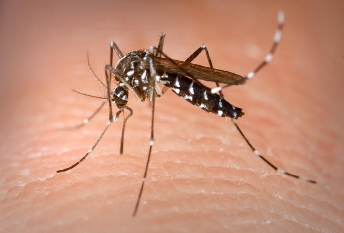 This is an Aedes albopictus female mosquito obtaining a blood meal from a human host.